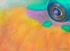 IMG_8343 (Andrey Narchuk) Tags: wild fish color macro nature underwater skin dahab redsea parrot