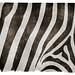 Zebra Striped Grunge Texture