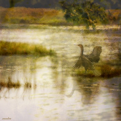 """I will write peace on your wings and you will fly all over the world"" (xandram) Tags: painterly bird water wings peace textures grasses doublecrestedcormorant photohshop"
