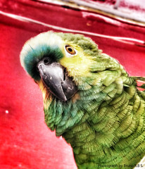 (Bruno R.B S.) Tags: camera bird animal contrast telephone cellphone cell parrot pssaro 3g celular passaro 3gs papagaio iphone