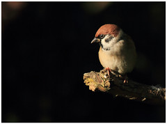 Tree Sparrow (Passer montanus) [Explored] (bojangles_1953) Tags: