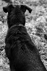 black dog (rtinophrne) Tags: dog chien black france wet grass rain forest fur outside noir pluie bitch raining plain foret herbe hairs soaked fourrure dehors plaine poils mouill
