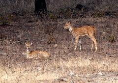 Chital 4 (asis k. chatt) Tags: india animal wildlife soe naturephotography rajsthan naturewatcher ranthambhoretigerreserve