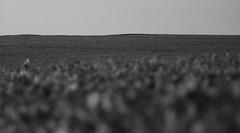 Plantação de soja (3105) (Jorge Belim) Tags: pb paisagem 70200 canoneos50d