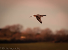 (tsd17) Tags: sunset birds wildlife anglesey