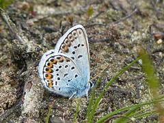 Plebejus argus (Nelleke C) Tags: netherlands sand nederland butterflies insects moor heide vlinders insecten zand heathland noordbrabant kampina plebejusargus silverstuddedblue 2013 heideblauwtje banisveld dalvandebeerze
