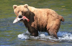 Grizzly with salmon (jpotto) Tags: animals alaska bears salmon grizzlies grizzlybear brooksfalls