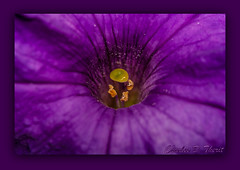 Purple Hole (ctofcsco) Tags: 14x 180mm 580ex 5d canon colorado coloradosprings ettl explore extender flash flower macro nature petunia purple unitedstates usa wildlife ef180mm f35l usm ef180mmf35lmacrousm america northamerica telephoto bokeh ef14x ii extenderef14xii classic eos5d eos5dclassic 5dclassic 5dmark1 5dmarki co speedlight teleconverter best wonderful perfect fabulous great photo pic picture image photograph
