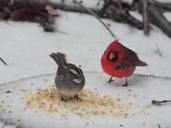 P2120022 (Hunter-Desportes) Tags: winter wild snow bird nature corn cardinal feeding southcarolina sparrow scratch zonotrichia whitethroated albicollis