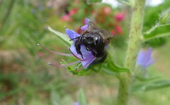 Xylocopa iris m - 07 VI 2012 (el.gritche) Tags: hymenoptera apidae xylocopinae xylocopa iris xylocopairis france 40 garden nest bee abeille