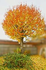 Cherry Tree (Jabberzeal) Tags: tree fire cherrytree treeonfire