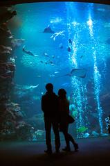 into deep (jam343) Tags: blue aquarium kyoto ray lovers   kyotoaquarium