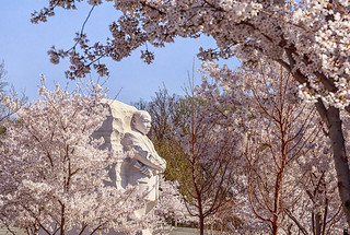 Photo by Krsna captures cherry blossoms surrounding the Martin Luther King, Jr. Memorial in Washington, D.C.