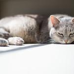 Little Grey Kitteh thumbnail