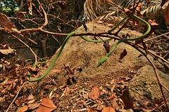 Oriental whip snake: Ahaetulla prasina (Roving_photographer) Tags: tree green island snake malaysia whip serpent oriental tioman prasina ahaetulla ahaetullaprasina orientalwhipsnake