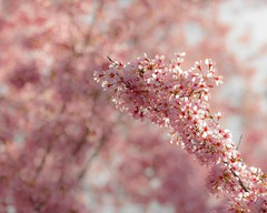 Spring Dream No. 1 (Thomas James Caldwell) Tags: pink flowers light sun blur spring colorful university pennsylvania arboretum pa penn bloom april dreamy morris 2014