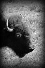 American bison (Bison bison) (Adventurer Dustin Holmes) Tags: animal animals mammal missouri arkansas bison bovidae bovinae herbivores mammals animalia mammalia herbivore americanbison chordata artiodactyla americanbuffalo bbison