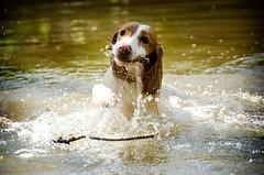 I got it.. (BusyBee-cr) Tags: dog dogs water fun stream working stick spaniel cocker splash retrieve