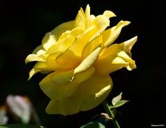 Mothers Day 2014. (Eugene1959) Tags: myfrontyard flowersandmacros nikond3100 mothersday2014