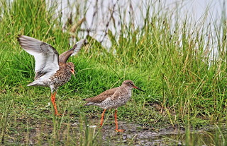 REDSHANKS....courting ritual
