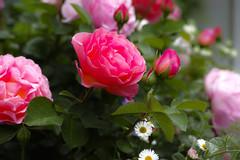 お花 (punipuki) Tags: street city flower nature japan tokyo spring sigma merrill 春 dp3 floralappreciation