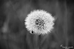Dandelion beetle (Pamela Vassallo Photography) Tags: stilllife white black flower macro beetle dandelion seebw