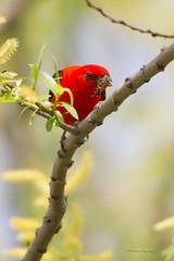 _53F9444 Scarlet Tanager (~ Michaela Sagatova ~) Tags: red male insect spring feeding dundas scarlettanager pirangaolivacea dvca michaelasagatova