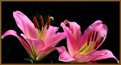 TWO IN THE LIGHT (Walter A. Aue) Tags: flower novascotia lily walteraaue canada