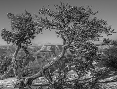 don't just look at the rim...#1 Explore 01-26-2015 DSC_1054 (steve bond Photog) Tags: trees arizona tree grandcanyon grand canyon depthoffield explore throughthetrees southrim naturalframe arizonahighways treesofarizona grandcanyontrees arizonamono canyonmono explore1262015