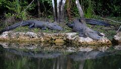Alligators in the Everglades (N. S. Gittings) Tags: florida everglades alligators tamron18270mm nikond7000