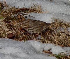 Song Sparrow (Dendroica cerulea) Tags: winter snow birds newjersey nj aves sparrow highlandpark songbird songsparrow melospizamelodia melospiza emberizidae passeriformes middlesexcounty passeri donaldsonpark passerida passeroidea psittacopasserae eufalconimorphae