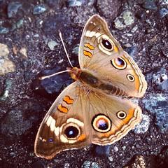 Common Buckeye (Annie Meyer) Tags: california ca del butterfly common norte buckeye nymphalidae