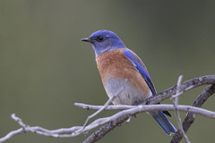 Western Bluebird (Best Practices) Tags: california bird sanjose bluebird bestpractices westernbluebird jeffreyfontanapark