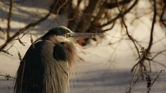 Great Blue Heron (hfpicc) Tags: bird heron nature wildlife beak blueheron greatblueheron wadingbird canon7dmarkii heronfeathers heidipiccerelliphotography greatblueheroninwinter