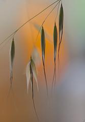 Wild Oats..... (setoboonhong) Tags: world wild nature its up grass cat weed close stevens seeds 1970 oats