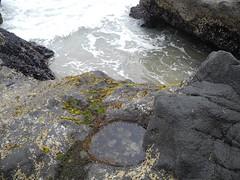 2016-04-27_DSCN5326 (becklectic) Tags: oregon oregoncoast anemones tidepools yachats 2016