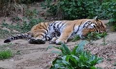 so tired (Hugo von Schreck) Tags: animal cat outdoor tiger katze tier yourbestoftoday tamron28300mmf3563divcpzda010 canoneos5dsr hugovonschreck