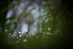Fairytale (melnikovee) Tags: flower macro art nature fairytale forest anemone helios