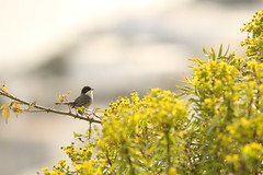 Male Sardinian Warbler (Derbyshire Harrier) Tags: morning male bird spring mediterranean sicily warbler stromboli aeolianislands 2016 sardinianwarbler