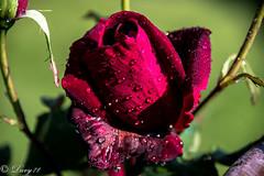 Rosa 17-05-2016 (1)-6 (davide.soffietti) Tags: flowers macro torino rosa piemonte fiori rosso rugiada giardino esterno fiano goccie