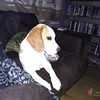 Gatsby looks sad (vw4y) Tags: beagle gatsby mournful missingmummy