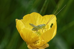 Baby grasshopper in common buttercup - Bb sauterelle dans bouton d'or (Sbastien Vermande) Tags: summer france flower macro fleur insect bokeh lot t macrolens macrophotography midipyrnes macrophotographie insectmacro sigma150 flowerandinsect canon7d sigmaapoteleconverter14xexdg vermande