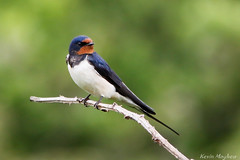 Swallow_82A9263 (kevinmayhew62) Tags: swallow hirundorustica
