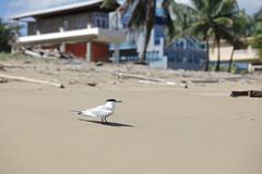 IMG_3058 (YoshGuenther) Tags: bird beach animal puertorico outdoor seagull pr aguada gratefulsoulshostel