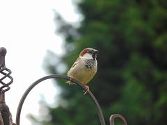 Hedge sparrow (Chris.,) Tags: birds canon garden spring feeding wildlife dunnock feeders springtime nesting springwatch 55mm250mmis gardenfeeders canon1100d creativecommons4