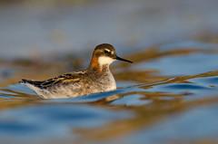 Red-necked Phalarope (alix.dentremont) Tags: water novascotia pov migration seabird shorebird phalaropuslobatus pubnico