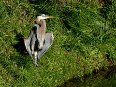 Fish for Breakfast (cotarr) Tags: leica bird gray geotag greatblueheron visitorcenter chicagobotanicgarden cameraraw topazdenoise cbgwildlife iphonemytracks cc2014 vlux114