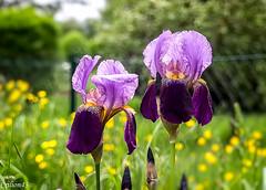Bicolore... (Crilion43) Tags: iris france nature fleurs canon divers centre jardin ciel arbres cher nuages paysage maison brouillard champ herbe pr rflex