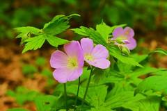 Wild geranium (Bubash) Tags: pink flowers wild nature wisconsin woodland spring purple blooms geranium