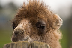 Peek a boo (pixip53) Tags: baby animal zoo camel camels bactrian whipsnade zsl 500px ifttt